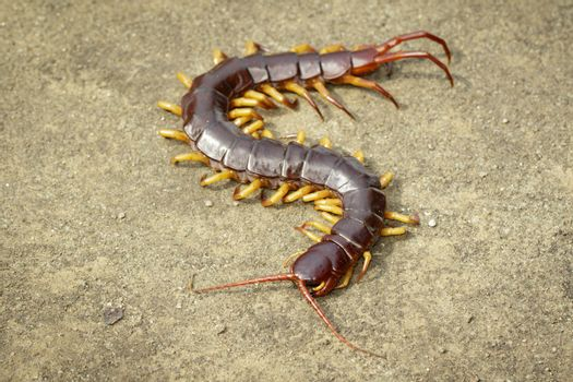 Image of centipedes or chilopoda on the ground. Animal. poisonous animals.