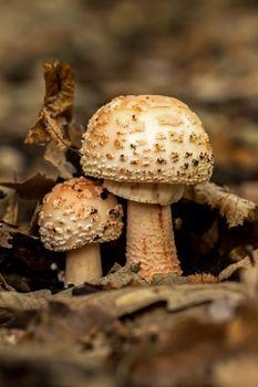Edible Blusher fungi