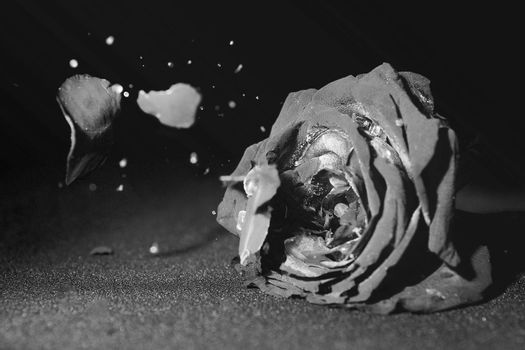Dried roses broken on black and white