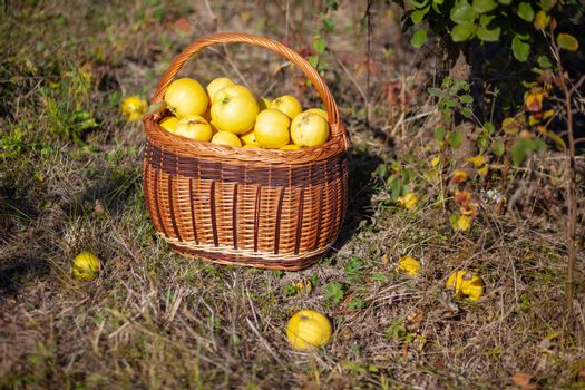 Still life stock photo of freshly picked yellow quinces in a bas