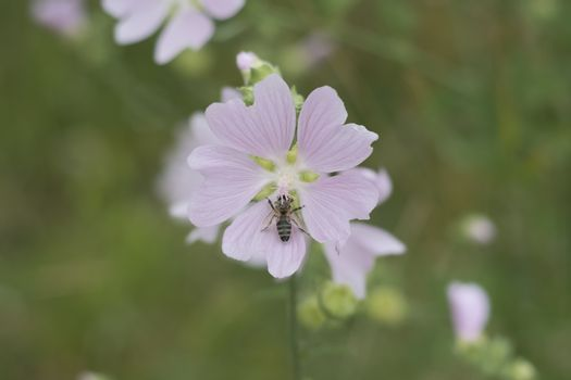 Althea officinalis - bee on flower of medical plant in wild natu