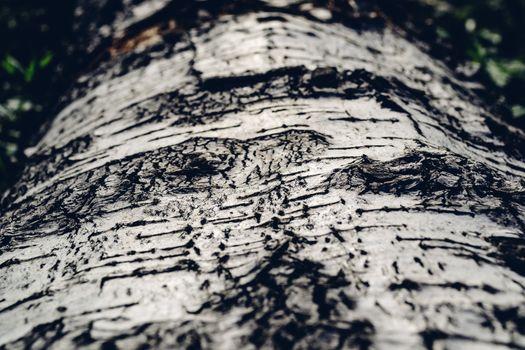 Background of the birch bark