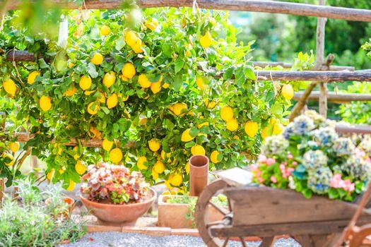 Fruits in Lemon garden of Amalfi coast on summer day