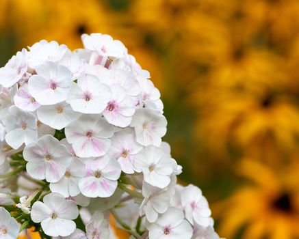 white blooming Phlox paniculata is a perennial herb, species of