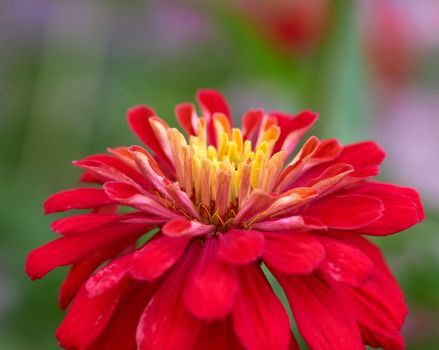 red Zinnia genus of annual and perennial herbs