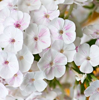 white blooming Phlox paniculata is a perennial herb