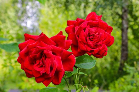 Red Roses on a bush in a garden. Nature. Spring. Valentine's Day, mothers Day