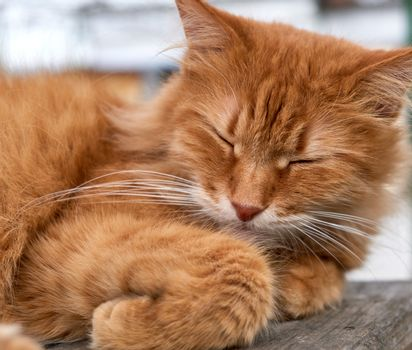 reddish adult cat with a big mustache sleeps