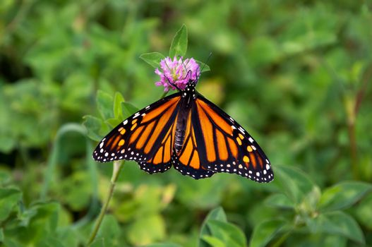 Monarch butterfly on clover.