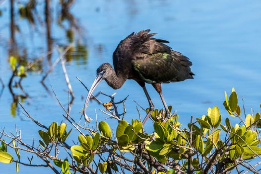 A glossy ibis eating a frog in a marsh