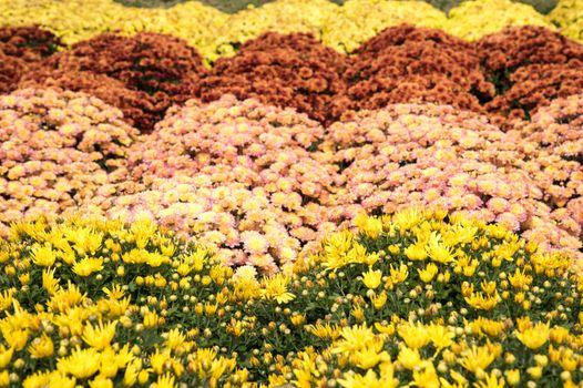 chrysanthemum pots