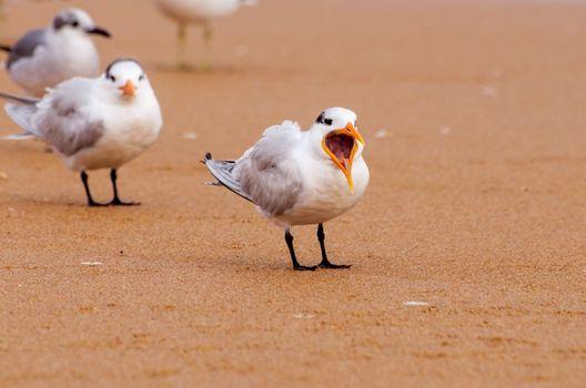 royal terns on a beach