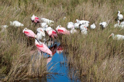 Roseate spoonbills and white ibis gather at water hole.