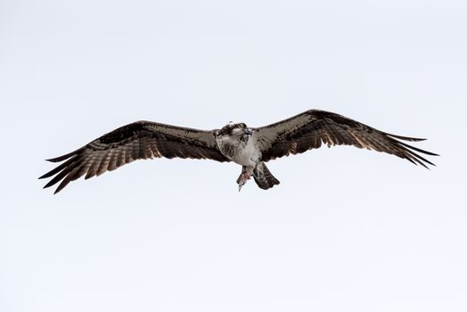 Osprey flying with a fish.