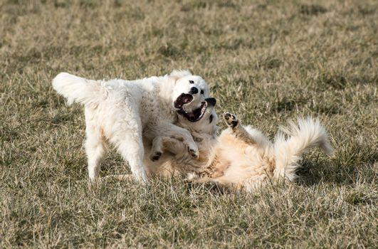 Great Pyrenees dogs playing.