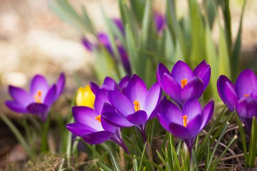 General view of the purple saffron flowers. Horizontally.