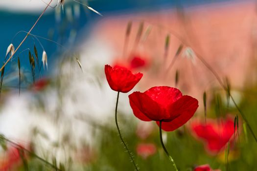 Red poppies, in the background fuzzy view of a tourist town in Croatia.