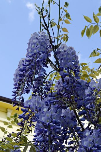 Branch  of wisteria  with bunch of purple blossoms and leaves  at springtime in garden, Sofia, Bulgaria