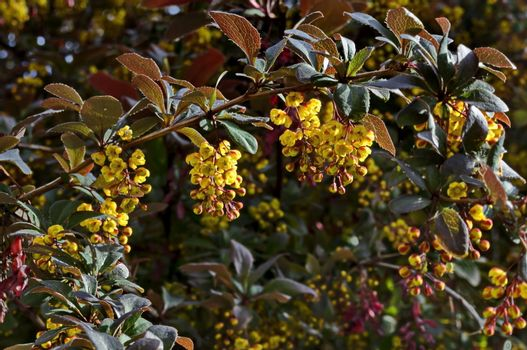 View of Berberis, highly branched, with broad leaves prickly bush and yellow brown aromatic blossom  in  the  garden, Sofia, Bulgaria