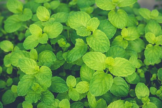 Peppermint leaves are fragrant green plants and are medicinal pl
