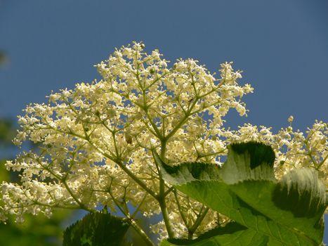 Elder bush inflorescence