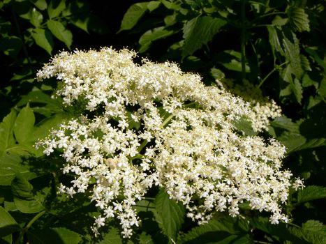 Elder-bush inflorescence