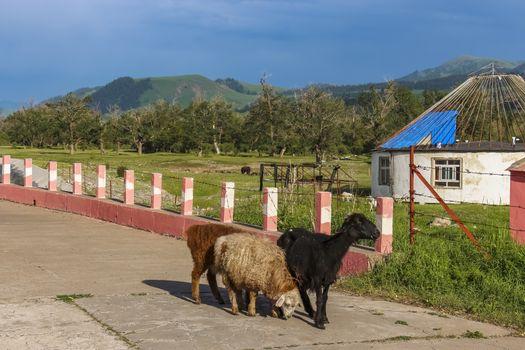 Xinjiang goats roaming a pathway in Kalajun Grassland in Xinjiang, China