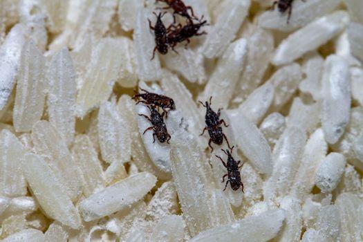 close up rice moth eat rice