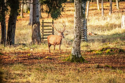 An image of a stag in the forest