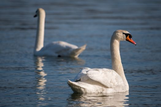 Beautiful elegant white swans swimming in the blue waters of Danube river in Belgrade, Serbia