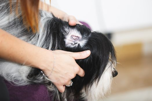 Vet examining ear of a dog in veterinary clinic, selective focus