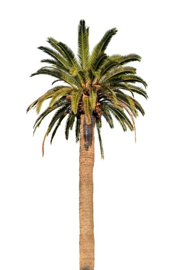 One palm tree isolated on white background