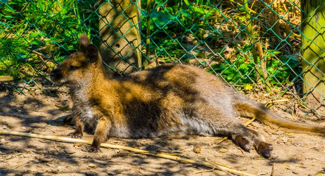 portrait of a bennett's wallaby laying on the ground, tropical kangaroo specie from Australia