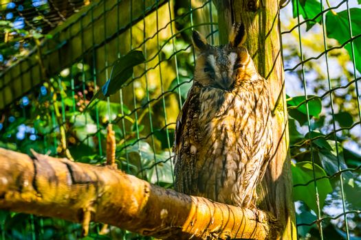 closeup portrait of a northern long eared owl, popular bird specie from Europe and America