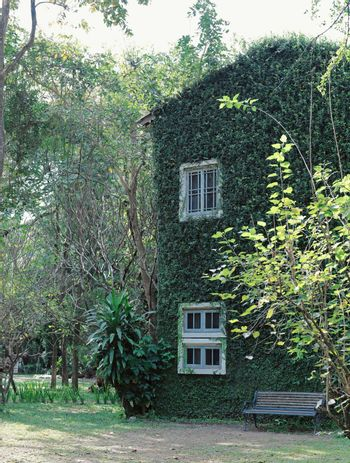 Old building house covered with green ivy plant, spring and natural concept