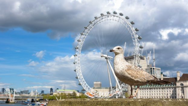 Seagull at the Thames River in London