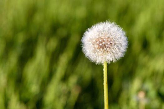 Single dandelion flower in the meadow on blurred background