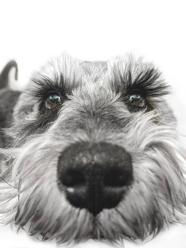 Small black and white miniature schnauzer dog looking at camera