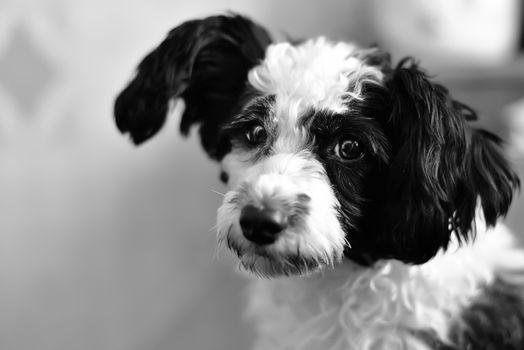 Chinese crested dog portrait on black background