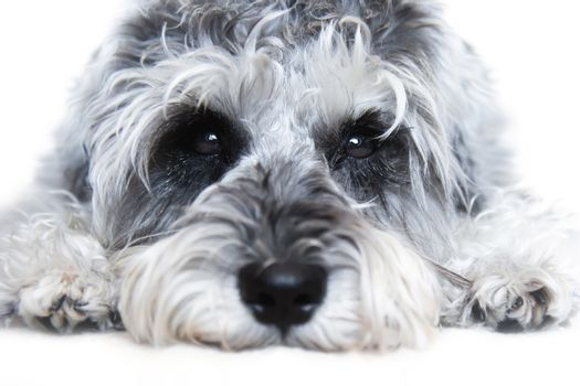 Small black and white miniature schnauzer dog wtih funny face looking at camera on white