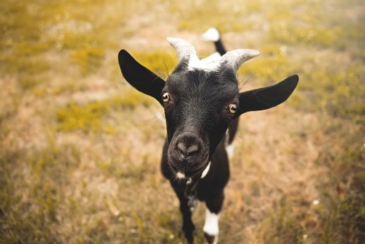 Young goat kid with small horns, looking into camera, blurred nature background
