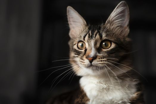 Portrait of a beautiful siberian Cat, which carefully looks into the distance