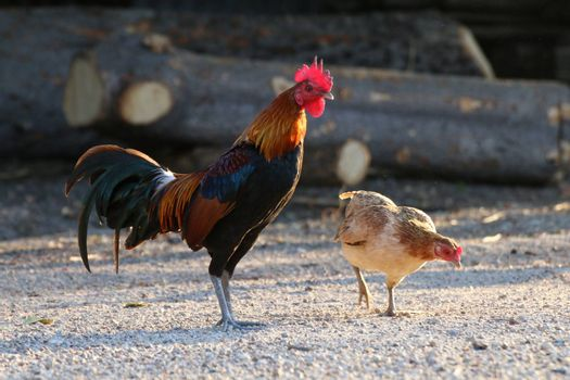 Cock, Rooster Asia and broody Hen Family, Fighting cock, Gamecock in the countryside