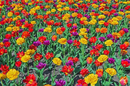 Colorful tulips planted flower bed in the city park in the spring