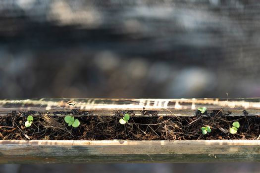 Germination of vegetable seeds in bamboo