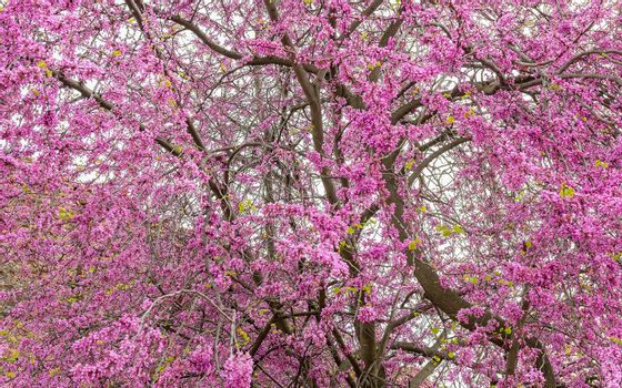 Beautiful purple cherry tree in spring, seen on Palatine Hill in Rome, Italy
