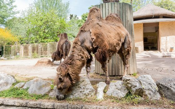 Camels looking for food in a zoo park environment