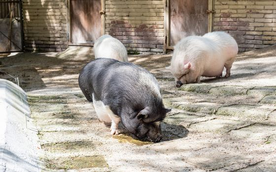 Pigs looking for food in the farm
