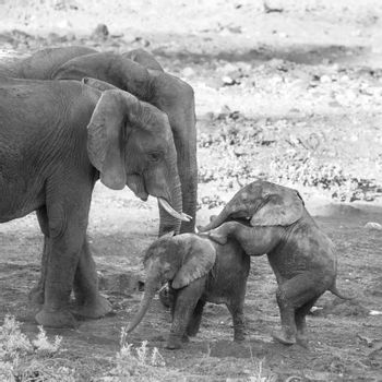 Small group of African bush elephants with calf playing in Kruger National park, South Africa ; Specie Loxodonta africana family of Elephantidae