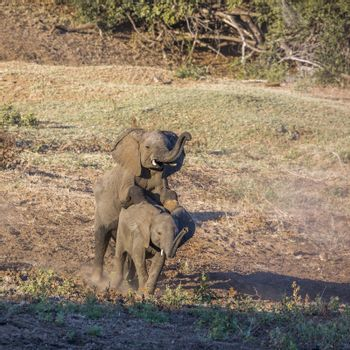 Two young African bush elephants playing mating in Kruger National park, South Africa ; Specie Loxodonta africana family of Elephantidae